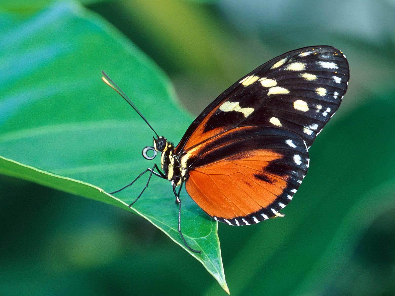 Vlinder Blad